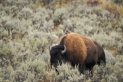 (Samuel Raison) Tags: bison buffalo yellowstone yellowstonewildlife yellowstonenationalpark wildlife nature nikond800 nikon4600mmafsgvr