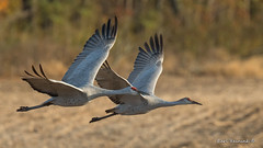 Sandhill pair (Earl Reinink) Tags: crane sandhillcrane bird animal flight flying autumn outdoors nature eye earl reinink earlreinink ridahduaza field