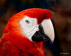 _MG_3438-Edit.jpg (Joe Fitzpatrick Photo) Tags: fauna birds butterflyworld parrots