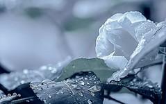 Dew (pasquale di marzo) Tags: esterno colore acqua rugiada rosa bianca fiore macro