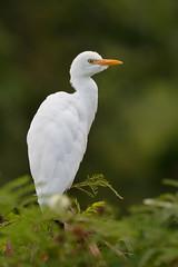 Cattle Egret (Bubulcus ibis) (SharifUddin59) Tags: cattleegret egret heron bubulcusibis kawainuimarsh kailua oahu hawaii bird tree