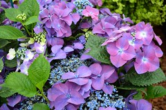 Hydrangea (Seventh Heaven Photography **) Tags: 126th shrewsbury flower show august 2013 nikon d3200 flowers flora blooms shropshire england hydrangea pink purple leaves
