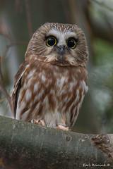 I've got big eyes, get over it. (Earl Reinink) Tags: eyes owl bird animal sawwhetowl outdoors nature woods forest trees earl reinink earlreinink herdtaaaza