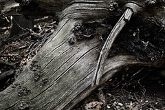 the fallen (visualparasite) Tags: wood tree branch bark texture fullframe monotone forest animism resignation nature