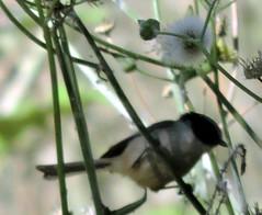 American Bushtit, Psaltriparus minimus (asterisktom) Tags: bird vogel ave 鸟 птица 鳥 pajaro tripnicaraguanorthward20182019 2019 january guatemala panajachel americanbushtit psaltriparusminimus bushtit