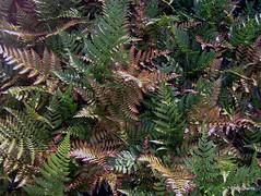 Dryopteris erythrosora var. prolifica