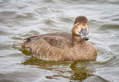 Lady Redhead (tresed47) Tags: 2019 201901jan 20190114marylandbirdsbb birds cambridge canon7d content ducks folder january maryland peterscamera petersphotos places redhead season takenby us winter