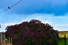 Lilac bush,  bird on a wire (darletts56) Tags: sky blue cloud clouds white rain lilac bush flower purple post fence table field fields leaves bird wire power line saskatchewan canada dove bushes grass green valley prairie