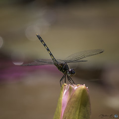Dragonfly (B.A. BA) Tags: insecte journée libellule nature dragonfly insect faune flore bokeh naturephotography insectes wildlife sauvage macro extérieur outdoors outdoor outside fleur