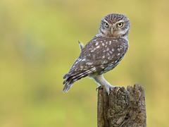 Little Owl (KHR Images) Tags: littleowl little owl athenenoctua wild bird birdofprey perched evening sunlight wildlife nature nikon d500 kevinrobson khrimages