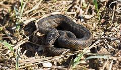 Viperine Snake (Natrix maura) (Sky and Yak) Tags: viperine water snake reptile natrix maura natrixmaura serpent reptilesandamphibians
