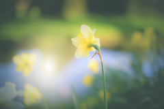 Happy Daffy... (KissThePixel) Tags: daffodil spring winter flower yellow gold bokeh macro beautiful light 50mm f14 14 sigmaart nikond750 nature dof bokehlicious garden
