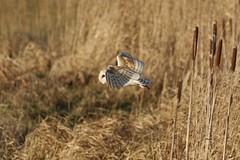 0M2A3774 Barn Owl (kevin_livesey) Tags: barn owl wwt martin mere wetlands bird birdwatching nature wildlife tyto alba