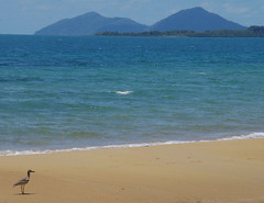 Beach stone curlew and Dunk Island, Brooks Beach, near Mission Beach, QLD, 24/10/18 (Russell Cumming) Tags: bird beachstonecurlew dunkisland brooksbeach missionbeach tully queensland