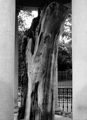 Gernikako Arbol Zaharra (Rhisiart Hincks) Tags: tree coeden gwezenn crann arbre craobh zuhaitz blancinegre duagwyn gwennhadu dubhagusgeal dubhagusbán blackandwhite bw zuribeltz blancetnoir blackwhite monochrome unlliw blancoynegro zwartwit sortoghvid μαύροκαιάσπρο feketeésfehér juodairbalta gwladybasg duthaichnambasgach arvrovask tírnambascach euskalherria paysbasque paisvascos basquecountry gernika quercia dair ozols derwen deri derw derv dervenn daragh darach daraich haritz oak shrivelled kizkurtu sych krin crin seargach chêne 橡树 roure tammepuu carballo მუხა βαλανιδιά quercus stejar meşe храст
