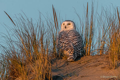 Snowy Owl (bbatley) Tags: owl snowyowl bird wildlife seashore