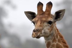 Giraf (soetendaal) Tags: kameelperd afrika καμηλοπάρδαλη girafe giraffe animal jirafa giraffa wildlife safari