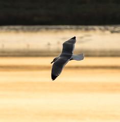 Rainham 04.12.18 Herring gull
