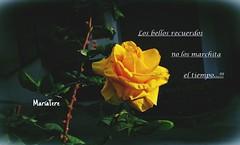 Los Bellos Recuerdos No Los Marchita El Tiempo... (MariaTere-7) Tags: rosa amarilla magdalena del mar lima perù los bellos recuerdos no marchita el tiempo marìatere7