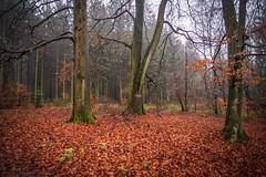 forest series 195 (Stefan A. Schmidt) Tags: forest autumn fog leafs leaf rain drops pentaxart germany