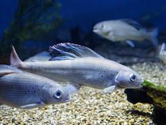 """Ripley's Aquarium Toronto #15 - Arctic Grayling • <a style=""""font-size:0.8em;"""" href=""""http://www.flickr.com/photos/142691167@N05/46197686904/"""" target=""""_blank"""">View on Flickr</a>"""
