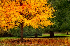 Artistic Autumn Gold 6-0 F LR 11-8-18 J044 (sunspotimages) Tags: tree trees forest fall autumn falltree falltrees fallforest autumntree autumntrees autumnforest artistic artwork digitalmanipulation fractalius nature landscape falllandscape autumnlandscape