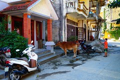 A cow in front of a restaurant next to our hotel. It will eventually become a meal, Sa Pa, Vietnam