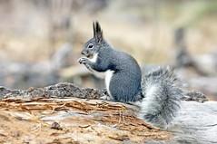 Abert's Squirrel (Sciurus aberti) (Ron Wolf) Tags: abertssqurrel bandeliernationalmonument nationalpark rodentia sciuridae sciurusaberti mammal montane nature rodent wildlife newmexico explore