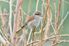 SHRIKE (RAMI SABER DAHMOUS) Tags: ramidahmous rami tamron 150600lens 150600 nikond500 nikon birdwatching birds birding shrike