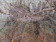 Ledovka, prosinec 2014 (pocasimeteoaktuality) Tags: ledovka prosinec 2014 praha větve obalené led extrémní počasí