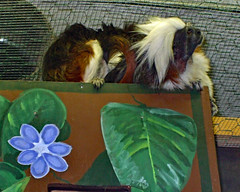 Taking It Easy. (dccradio) Tags: greenbay wi wisconsin browncounty flower leaf leaves furry fur tamarin cottontoptamarin animal wildlife wild box resting critter zoo newzoo fuji finepix a900 outdoor outdoors outside