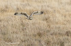 Shorty the Owl. (nondesigner59) Tags: asioflammeus shortearedowl hunting bird nature wildlife flight owl copyrightmmee eos7dmkii nondesigner nd59