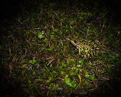 If I just keep still (nickyt739) Tags: amphibian frog northern leopard from canada wild animal green forest nikon dslr d5100