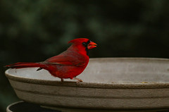 caught red handed (animalisterra) Tags: bird mature cardinal red seed feeder beak feathers arizona canon 70d outside outdoors birding green animal
