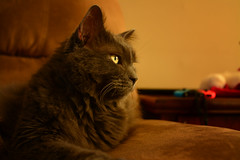 Always Watching (flashfix) Tags: december232018 2018inphotos flashfix flashfixphotography ottawa ontario canada nikond7100 28mm kittynose fyero nebelung ragamuffin ragdoll fluffy graycat portrait