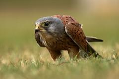 Hunter (noelbarke) Tags: kestrel bird prey raptor falco tinnunculus small mammals voles hovering rapid wing beats male brown back grey head
