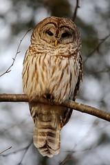 Barred Owl - Strix varia (-SOLO--) Tags: unitedstates connecticut barredowl strixvaria winter