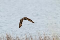IMG_9940 (monika.carrie) Tags: monikacarrie wildlife seo shortearedowl forvie scotland owl