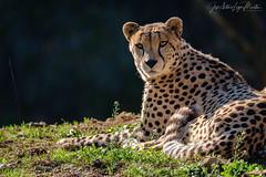 Guepardo (Lagier01) Tags: fauna guepardo mamiferos nature parquenaturaldecabarceno animales animal