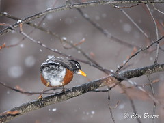 American Robin in winter (clive_bryson) Tags: americanrobin bird winter britishcolumbia canada clivebryson snowing