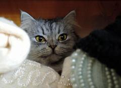 Ambush (Khaled M. K. HEGAZY) Tags: nikon coolpix p520 maadi cairo egypt indoor closeup macro cat pet animal feline clothes yellow brown white black هر هرة قط قطة