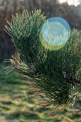 needles and bokeh (RCB4J) Tags: art ayrshire ayrshirecoast clydecoast firthofclyde irvinebeach photography rcb4j ronniebarron scotland sony18250mmf3563dtaf sonyilca77m2 fineart bokeh sunlight winter tree conifer pine needles cone flickrclickx