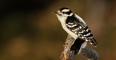Pic mineur \ Downy Woodpecker (Alain Daigle) Tags: picmineur downywoodpecker