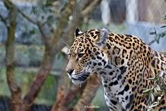 Panter (Karin Michies) Tags: artis dierentuin zoo dieren animals dierenfotografie anmimalphotografphy roofdier wild panter zoogdier mammal
