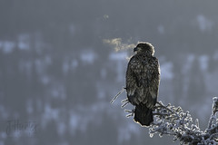 Immature Bald Eagle in -4 F. (J.Hunter Photography) Tags: