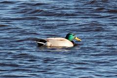 Mallard Duck (Liam Waddell) Tags: water bogside ayrshire sssi scotland bird mallard duck green