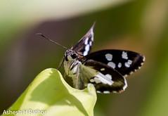 skipper (asheshr) Tags: 200500mm butterfliesofindia butterfliesofodisha butterfliesoforissa butterfly d7200 macro macrophotography nikkor nikkor200500 nikon nikond7200 photography skipper smallbutterfly
