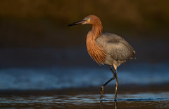 Reddish Egret (nikunj.m.patel) Tags: egret nature wild wildlife bird birds outdoor birdphotography naturephotography