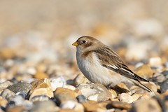 Snow Bunting (Plectrophenax nivalis) (PeterBrooksPhotography) Tags: 200500 bird bunting d500 eveninglight nikon peterbrooksphotography plectrophenaxnivalis portrait season snowbunting sun sussex uk westsussex wildlife winter beach habitat sea wild ©peterbrooks