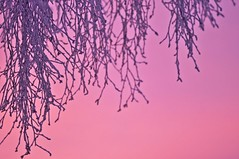 Pink sunrise (Stefano Rugolo) Tags: stefanorugolo pentax k5 pentaxk5 kmount smcpentaxm100mmf28 ricohimaging pink sunrise branches sky magenta purple cold frost abstract winter hälsingland sweden sverige manualfocuslens manualfocus manual vintagelens tree pov